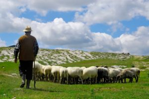 Things to Consider When Creating a Sheep-handling Facility